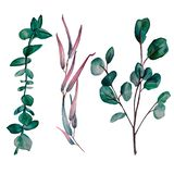 Watercolor hand painted set of 3 eucalyptus branches royalty free illustration