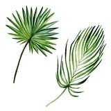 Watercolor hand painted set of 2 green palm leaves. Watercolor isolated elements on white background. Realistic botanical