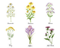 Watercolor hand painted set with medical herbs and plants. royalty free illustration