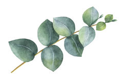 Watercolor hand painted silver dollar eucalyptus leaves and branches. Royalty Free Stock Image