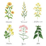 Watercolor hand painted vector set with medical herbs and plants. The perfect design for greeting card, medicine, packaging, kitchen decor, cosmetics, natural Royalty Free Stock Photos