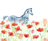 Watercolor hand painting dapple grey arabian horse in red poppies meadow flowers on white. Royalty Free Stock Images