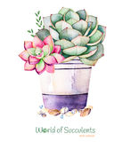 Watercolor handpainted succulent plant in pot and pebble stone. Watercolor clipart,individual flower pot isolated on white background.Perfect for your project vector illustration