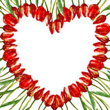 WATERCOLOR heart-shaped frame WITH tulips. Watercolor illustration heart-shaped wreath border frame of beautiful red tulip buds flowers stock illustration
