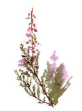 Watercolor heather flower. Isolated blossoming heather flower. Watercolor botanical illustration Stock Image