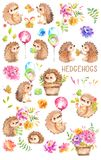 Watercolor Hedgehogs. Babies. Watercolor little animal clipart. Watercolor Hedgehogs, Babies, Watercolor little animal clipart with flowers royalty free illustration