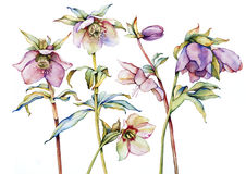 Watercolor with hellebore Stock Photography