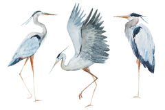 Watercolor heron birds Royalty Free Stock Images