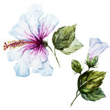 Watercolor hibiscus flower Stock Photo