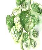 Watercolor -Hops- Stock Photos