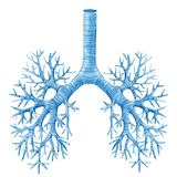 Watercolor human lungs. Beautiful illustration with human lungs bronchi and trachea royalty free illustration