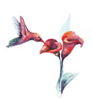 Watercolor humming-bird   Stock Photo