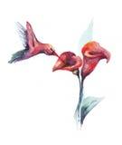 Watercolor humming-bird stock illustration