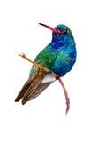 Watercolor hummingbird stock illustration