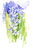 Watercolor hyacinth Royalty Free Stock Images