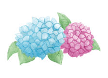Watercolor hydrangea. Watercolor isolated hydrangea flowers  illustration Stock Photos