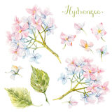 Watercolor hydrangea set Stock Photography