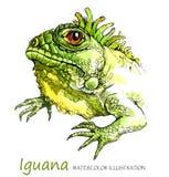 Watercolor Iguana στο άσπρο υπόβαθρο Εξωτικό ζώο Στοκ Εικόνα