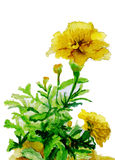 Watercolor illustration,yellow flowers sketch Stock Photos