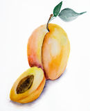 Watercolor illustration of apricot Royalty Free Stock Image
