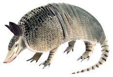 Watercolor illustration of Armadillo Royalty Free Stock Photography