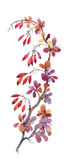 Watercolor illustration with autumn dogwood berries  on white background. Stock Image