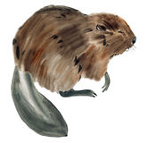 Watercolor illustration of a beaver in white background. Royalty Free Stock Photo