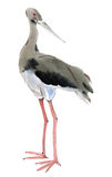 Watercolor illustration of a bird black stork Stock Photography
