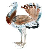 Watercolor illustration of a bird bustard in white background. Royalty Free Stock Photo