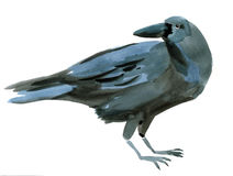 Watercolor illustration of a bird crow Stock Image