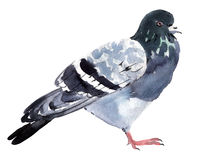 Watercolor illustration of a bird dove Royalty Free Stock Images