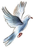 Watercolor illustration of a bird dove Royalty Free Stock Photo