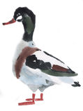 Watercolor illustration of a bird duck Stock Photography