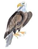 Watercolor illustration of a bird eagle in white background. Royalty Free Stock Image