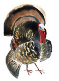 Watercolor illustration of a bird gobbler Stock Photography