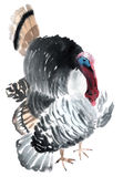 Watercolor illustration of a bird gobbler Stock Image
