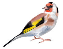 Watercolor illustration of a bird goldfinch Stock Images