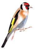 Watercolor illustration of a bird goldfinch Royalty Free Stock Photography