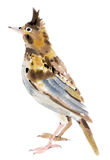 Watercolor illustration of a bird lark Royalty Free Stock Images