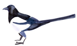 Watercolor illustration of a bird magpie in white background. Stock Photos