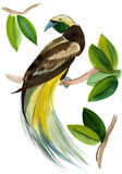 Watercolor illustration of bird of Paradise in white background. Stock Image