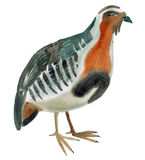 Watercolor illustration of a bird partridge in white background. Royalty Free Stock Image