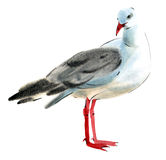 Watercolor illustration of a bird Seagull in white background. Stock Photography