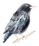 Watercolor illustration of a bird Starling Royalty Free Stock Photos