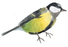 Watercolor illustration of a bird tit Royalty Free Stock Image