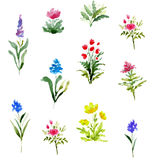 Watercolor illustration with blooming field flowers. Floral collection. Watercolor illustration with blooming field flowers. Watercolor set of herbs and Royalty Free Stock Photos
