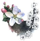 Watercolor illustration of blossom cherry Stock Images