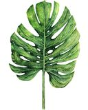 Watercolor illustration of boho tropical monstera leaves on white background. royalty free illustration