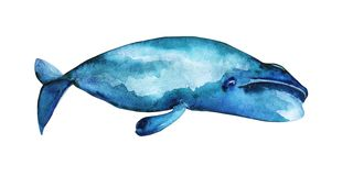 Bowhead whale illustration. Watercolor illustration of Bowhead whale. Isolated character royalty free illustration
