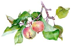 Branch with red apples and green leaves. Autumn harvest. Good health. Watercolor illustration. royalty free stock photos
